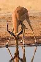 Impala _ drinking / Aepyceros melampus
