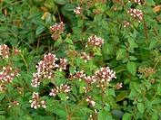 Thyme _ blossoms / Thymus vulgaris