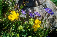birds_foot trefoil and rock speedwell