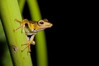 Borneo Eared Frog (Polypedates otilophus), Danum Valley Conservation Area. Sabah, Borneo, Malaysia