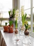 White hyacines in window, Skåne, Sweden