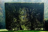 Square shaped tree, Skåne, Sweden