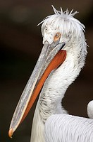 Dalmatian pelican, close_up