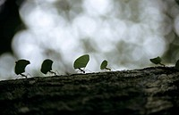 Ants in a row carrying leaves