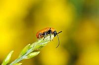Beetle. Collserola park, Barcelona, Catalonia, Spain