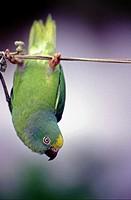 Papagei am Seil