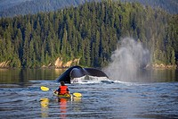 Man Sea Kayaking near swimming pod of Humpback whales Inside Passage Southeast Alaska Summer Composite