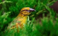 Webervogel 2