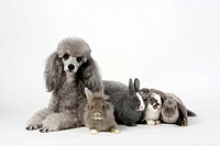 Minature Poodle, silver, with young Dwarf Rabbit, Lion_maned Dwarf Rabbit and Lop_eared Dwarf Rabbits