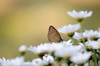 brauner Waldvogel II