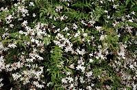 Jasmine, Jasminum polyanthum