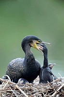 Common cormorant at nest feeding chick (Phalacrocorax carbo) France