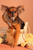Russian Toy Terrier in wash_tub