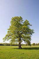 Oak tree in summer