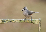 Titmouse On A Garden Tool Box