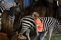 Boy looking at zebras in a museum