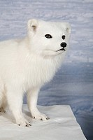 Stuffed snow fox
