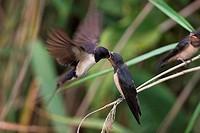 Barn swallow, , Hirundo rustica,