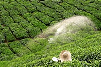 Bauer streut Dünger auf grünes Teefeld 1
