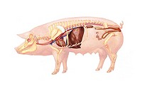 Anatomy of a sow. From left to right : the heart, the digestive system with liver, pancreas, spleen and stomach. The kidneys with the ureters that dis...