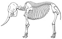 Lateral view of an elephant skeleton.