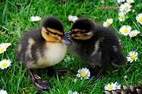 2 Entengüken und Gänsblümchen