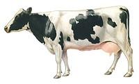 Domestic cow Bos taurus taurus  Domestic cow  Bos taurus  Cow  Bovine  Bovid  Ruminant  Mammal