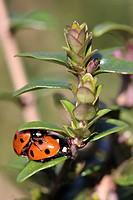 Seven_spot ladybird Seven_spot ladybirds mating Coccinella septempunctata. Picardy, France.