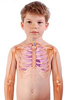 THORAX, DRAWING The lungs, the trachea and the rib cage in a 6_year_old boy.