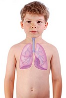 RESPIRATORY TRACT DRAWING The lungs and the trachea in a 6_year_old boy.