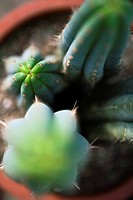 Cacti in flower pot, directly overhead, selective focus