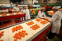 Oranges, Tangerines, Spain, Europe, Valencia, Food, Factory, Inside, Indoor, Citrus fruits, Fruit, Processing, food, i
