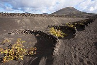 Spain, Canary Islands, Lanzarote, La Geria, vineyards growing on volcanic soil