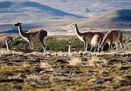 Llamas in field
