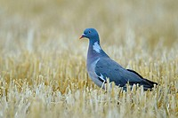 Wood Pigeon on a grain field, Columba palumbus, Summer, Germany