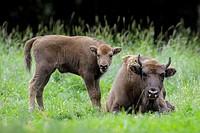 European Bison, Bison, Bison bonasus, Cow with calf, Germany