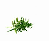 Sprig of rosemary