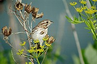 A song sparrow (Melospiza melodia) looks for seeds on a yellow flower, Pennsylvania, USA