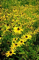 Thousands of blackeyed susans cluster in a field, Pennsylvania, USA