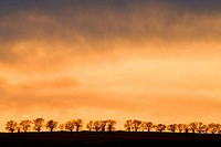 Line of cottonwood tree silhouettes on ridge at sunset. North Dakota