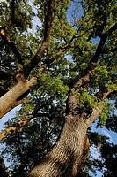 Oak (Quercus robur), Isabena valley. Huesca province, Aragon, Spain
