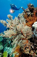 Coral reef scene and scubadiver Komodo Indonesia