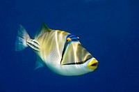 Picasso triggerfish Ras Mohammed Egypt