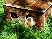 Guinea pig looking out from his frontdoor
