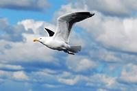 A seagull Larus michahellis