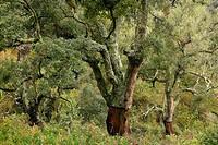 Trees in Mosquera ravine, Sierra de Espadan Natural Park. Castellon province, Comunidad Valenciana, Spain