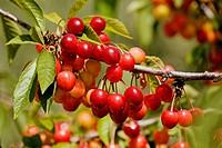Cherries, Andalucia, Spain