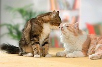 two Maine Coon cats _ smooching