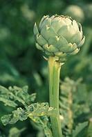 Brittany´s artichokes