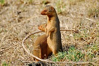 Common Dwarf Mongooses (Helogale parvula), Serengeti National Park, Tanzania, Africa